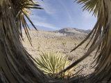 View Through Cactus of Desert of Snow Capped Mountain  California