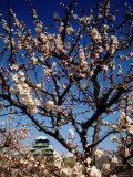 Plum Blossoms & Osaka Castle  Japan