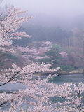 Cherry Blossoms and Pond
