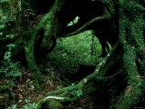 Yakusugi Tree Forest