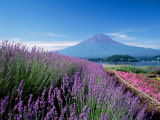 Mt Fuji and a Lavender Bush