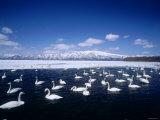 Whooper Swans  Lake Kussharo  Hokkaido  Japan
