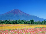 Mt Fuji and Cosmos Flowers  Oshino  Yamanashi  Japan