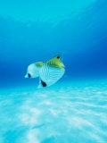 Threadfin Brtterflyfish