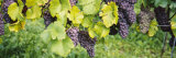 Grapes Hanging on Plants in a Vineyard  Vaihingen an Der Enz  Baden-Wurttemberg  Germany