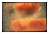 Study of Orange Poppies