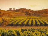 Vineyard  Barossa Valley  South Australia  Australia