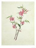 Flowering Peach  c1800-1840