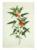 Chinese Botanical Illustration of a Flower  Purplered Pentapetes