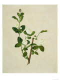 Chinese Botanical Illustration of an Arabian Jasmine