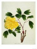 Yellow Peony  c1800-1840