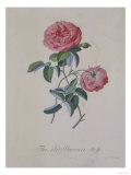 Red Provence Rose  A Botanical Illustration