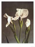 Iris Kaempferi  19th Century