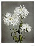Chrysanthemum  19th Century
