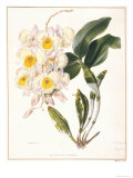 Botanical Watercolour: Orchid  Dendrobium Farmerii