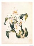 Botanical Watercolour: Orchid  Coelogyne Interrupta