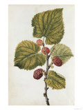 Botanical Study of Mulberry