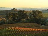 Vineyard from Artesa Winery  Los Carneros  Napa Valley  California