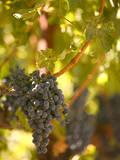 Grapes and Vineyard  Rutherford  Napa Valley  California