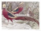 Gold Pheasant