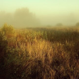 Tall Grass in Foggy Field