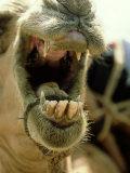 Camel  Mouth  Kenya