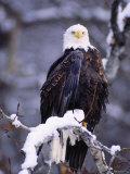 Bald Eagle  Chilkat River  AK