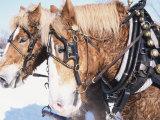 Belgian Draft Horses in Winter  WI