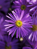 """Aster Frikartii """"Monch"""" Close-up of Purple Flower with Due"""