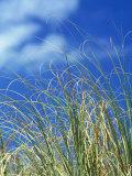 Dune Grass  Florida Keys