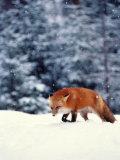 Red Fox in Snowy Woods