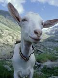 Goat, Inquisitive, Switzerland Papier Photo par Olaf Broders