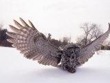 Great Gray Owl  Rowley  MA