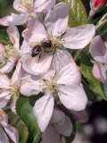 Bee on Apple Blossoms