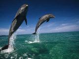 Des grands dauphins, Tursiops Truncatus Papier Photo par Stuart Westmorland