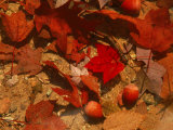 Fallen Leaves and Acorn Seeds