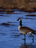 Canadian Goose in Water  CO
