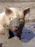 Close-up of Muddy Pig in Puddle