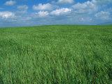 Wheat Fields Near Antequera  Spain