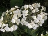 "Hydrangea Macrophylla ""Libelle"""