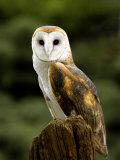 Barn Owl on Stump