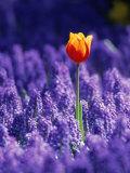 Tulip  Holland