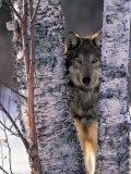 Gray Wolf Near Birch Tree Trunks, Canis Lupus, MN Papier Photo par William Ervin