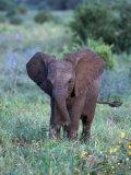 African Baby Elephant  Luxodonta Africana  Tanzania