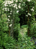 Archway with Clematis Montana (Grandiflora Alba) and Rosa (Sombreuil)