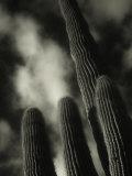 Saguaro Cactus  Kofa Nwa  AZ