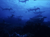 Scalloped Hammerhead Shark, Group, Galapagos Papier Photo par Gerard Soury