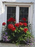 Window Box with Pelargonium & Lobelia  White Painted Wall Clovelly  Devon