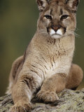 Mountain Lion or Cougar  USA