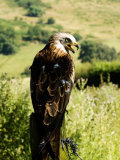 Red Kite  Adult Overlooking Countryside  UK